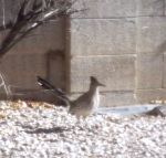 Roadrunner in backyard